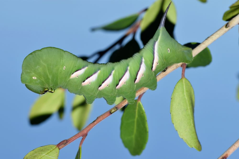 pawpaw sphinx caterpillar