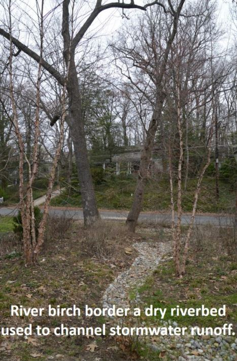 river birch used to channel stormwater runoff