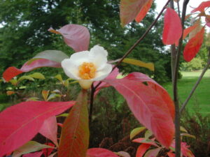 Closeup of the white bloom on a Franklin Tree with red fall foliage